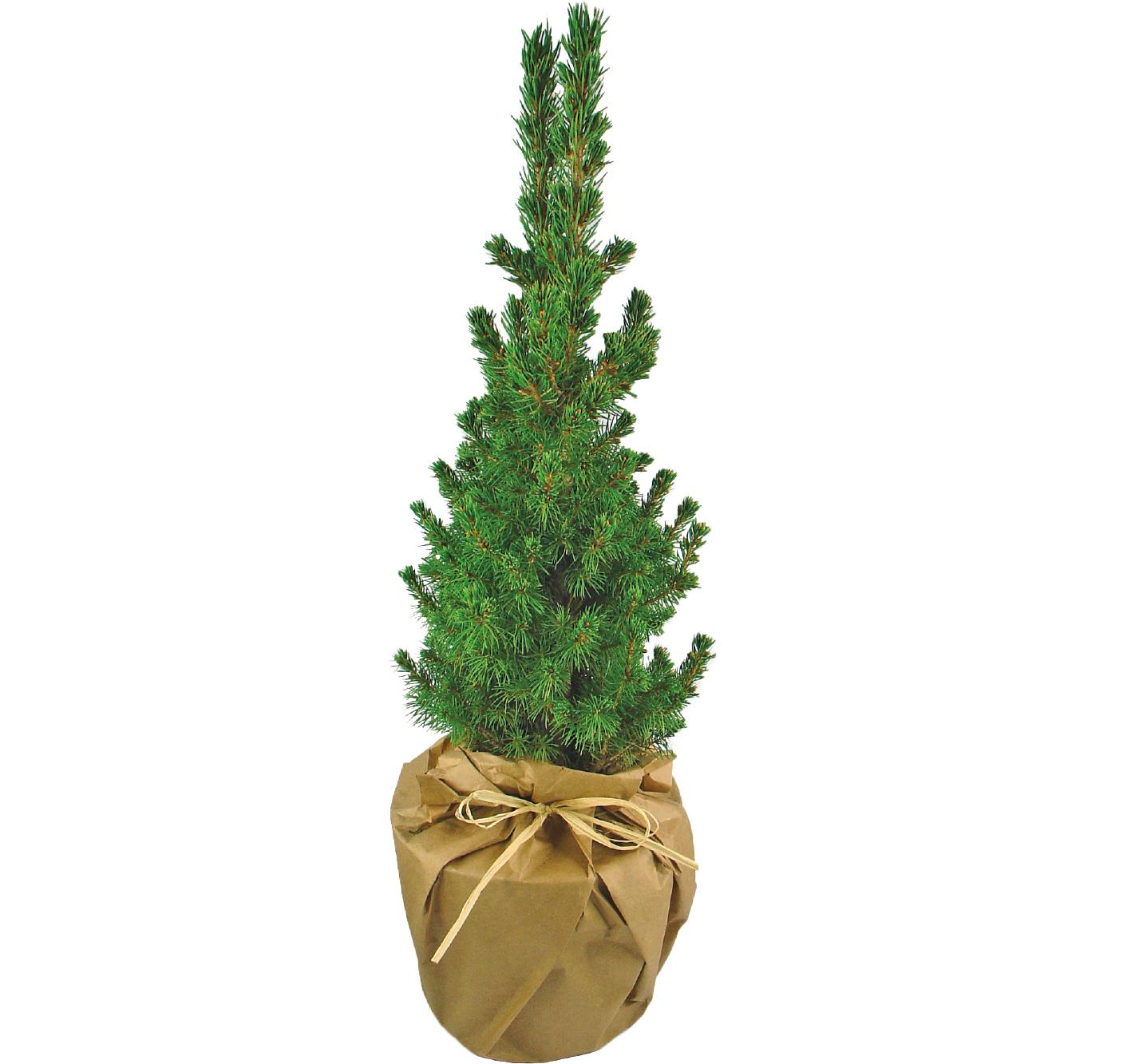 Weihnachtsbäumchen zum Verschenken! - Produktbild